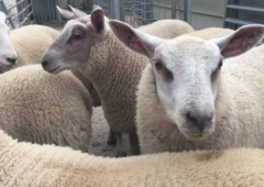 Department urged to roll-over Sheep Welfare Scheme into next year