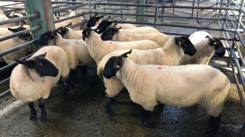 Sheep trade: Farmers finally able to kill factory-fit lambs as beef protests come to a halt