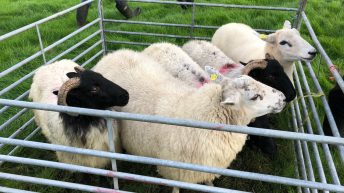Once-off sheep tag subsidy deadline approaching