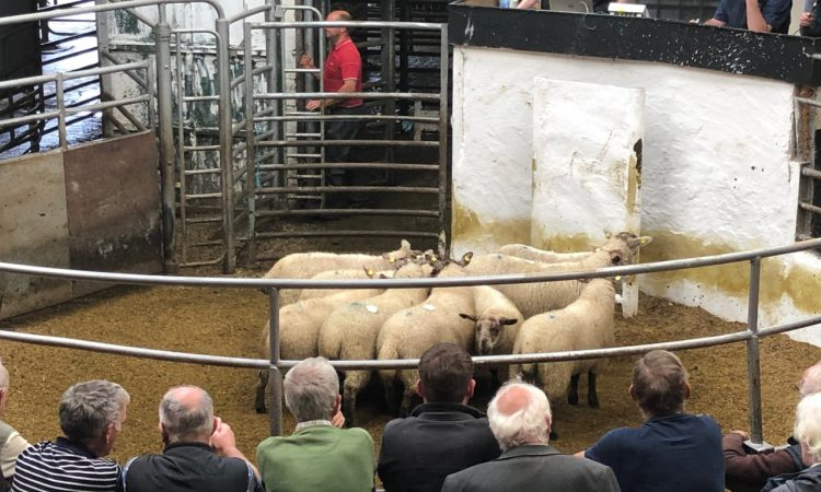 Sheep marts: Factory-fit lamb prices back as meat plant disruptions affect demand