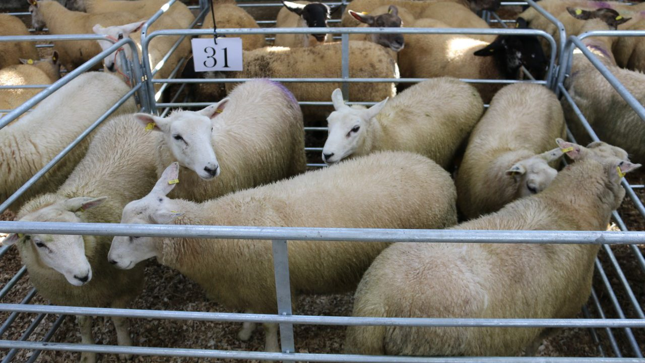 520 ewe lambs on offer at recent Carrick Prolific Breeders' Group sale