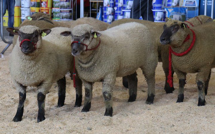Irish Vendéen Sheep Society show and sale season kicks off