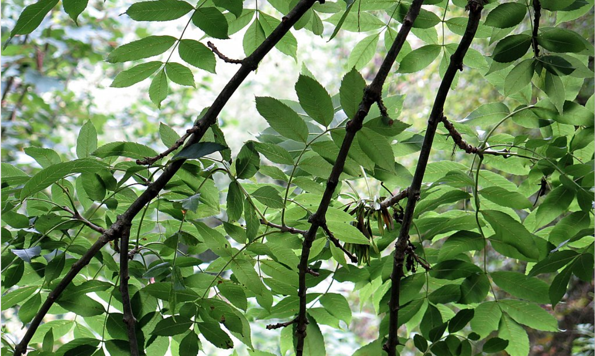 Department outlines payment details for new ash dieback scheme