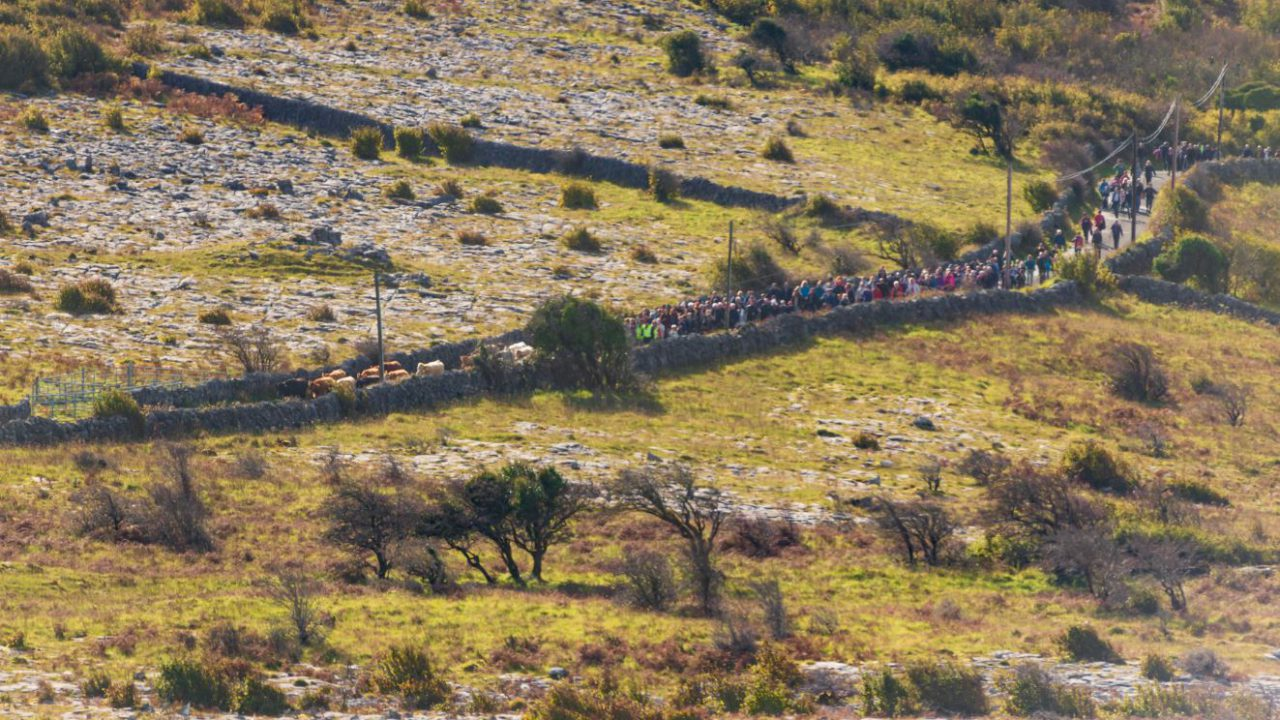 Burren residents mark 'ancient tradition' with cattle drive