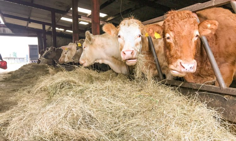 Feeding spring-calving suckler cows: What and how much?