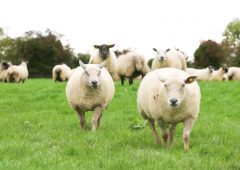 More 'up-to-date' reference year sought for Sheep Welfare Scheme