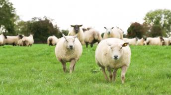 Improving production efficiency: Sheep conferences 2020 beckon
