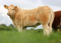 Video: Tateetra & Rathmore Farms to sell 70 weanling and yearling heifers this Saturday
