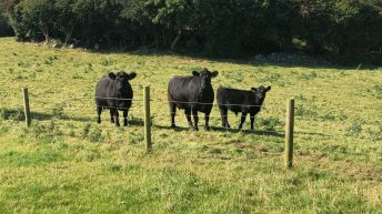 AAA scheme won't be in place in 2020 – Irish Angus producers