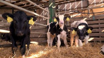 Calf trade: Numbers begin to creep up in marts