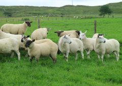 IFA calls for 'new enhanced' Sheep Welfare Scheme