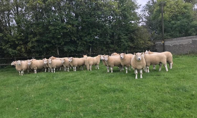Wicklow Mountain Sheep Breeders' Association to hold 77th annual show and sale