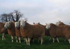 Brexit 'a unique opportunity' for Irish sheep breeders
