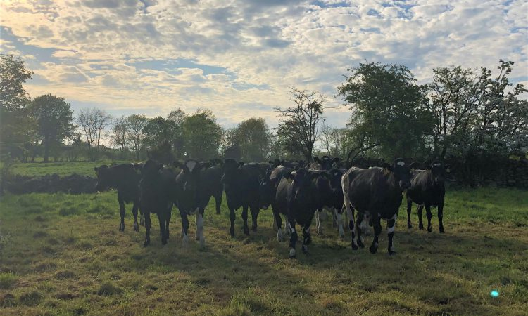 'Strong demand' for autumn-calving in-calf heifers and cows