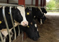 Video: The economics of 21, 24 and 28-month Holstein Friesian steer systems