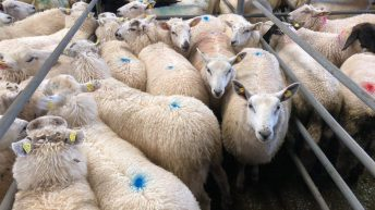 'Imported lambs is the next big flashpoint' – ICSA