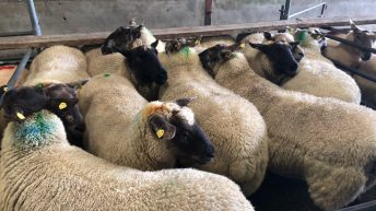 Sheep farmers: Be mindful of the Clean Livestock Policy