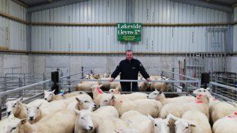 Sheep focus: Breeding pedigree Lleyn ewes and…alpacas