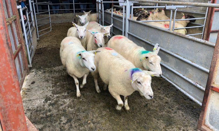 Sheep marts: Store lamb trade leading the way, as factory-fit lamb prices peak at €95/head
