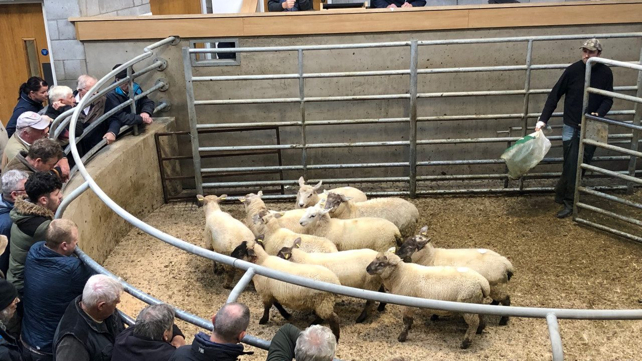 Sheep marts: No bite in the trade, as lamb prices continue to fall by €1-2/head