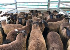 Pics and prices: 3,000 sheep on offer at Carnew Mart, as the price for lambs falls again