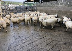 Sheep trade: Base price hits new low of 430c/kg