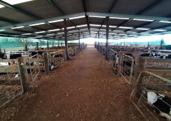 Rearing 10,000 calves with a once-a-day feeding system in New Zealand