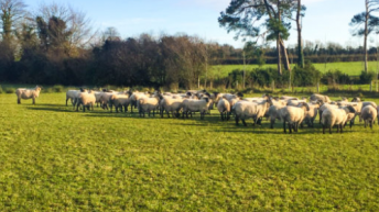 Sheep Ireland scrapie genotypes get Department of Agriculture approval
