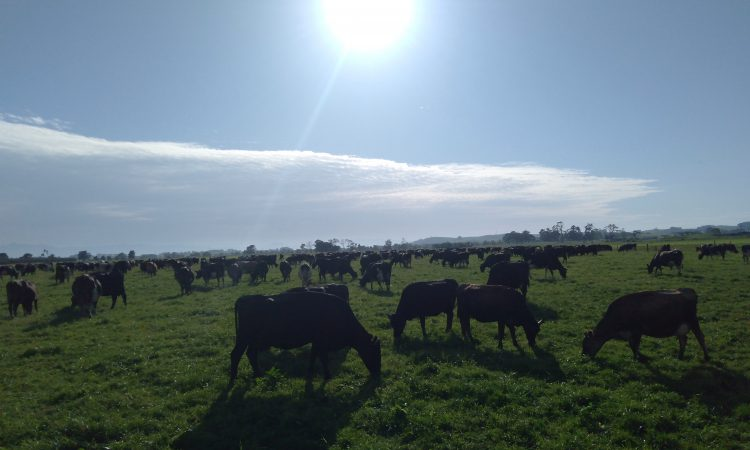 Getting the 'shades and shorts out' on a 670-cow dairy farm in New Zealand