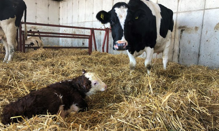 Avoiding calving issues: Time is running out