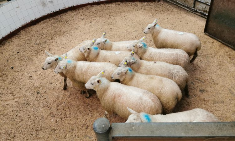 Sheep marts: Factory-fit lamb prices on the rise, as supplies continue to tighten