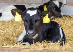 Colostrum: A calf's most important feed