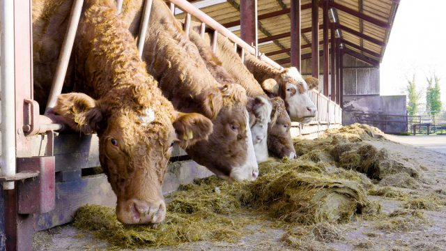 Providing the correct minerals to suckler cows pre-calving
