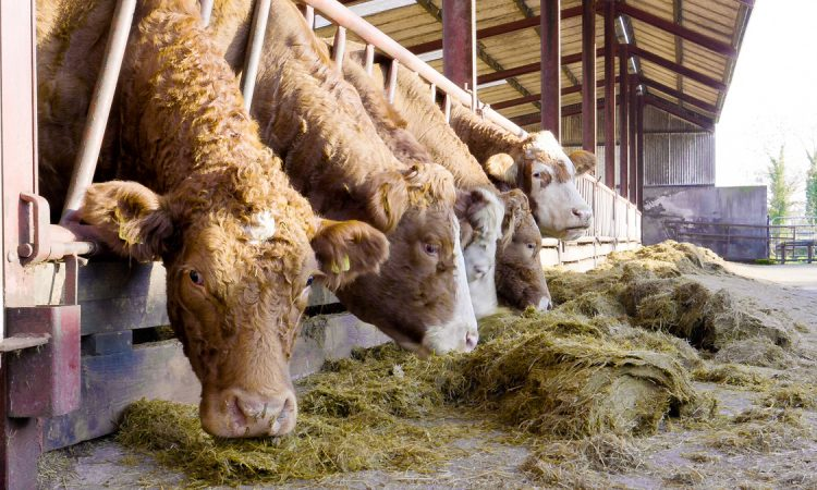 Providing the correct minerals to suckler cows pre-calving