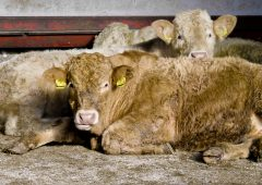 Beef trade: Slaughter date delays continue