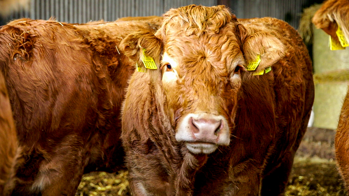 Video: How can I manage the emissions omitted by my cattle?