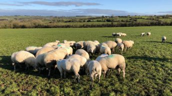 Is there any benefit of shearing your ewes for the housing period?