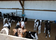 IBR programme 'necessary to future proof calf exports'