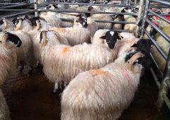 Sheep trade: Base quotes increase, as sheep kill falls by over 11,500 head
