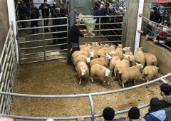 Sheep marts: Mart trade comes to life again, as prices rise €3.00-4.00/head for lambs