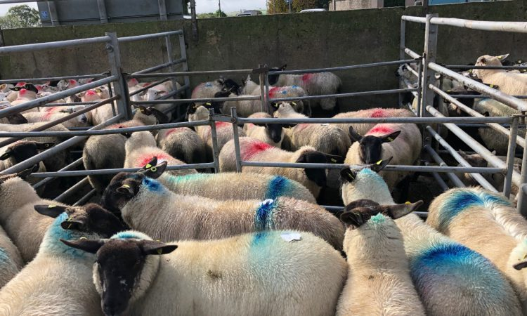 Sheep trade: 'Over 450,000 sheep were imported from the UK in 2018' – ICSA