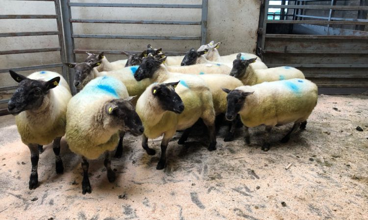 Sheep marts: Strong demand for store lambs, as prices move in the right direction