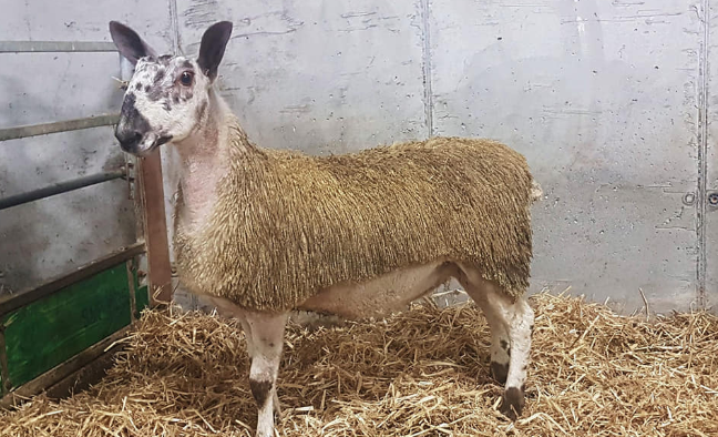 South of Ireland Bluefaced Leicester sale taking place this month