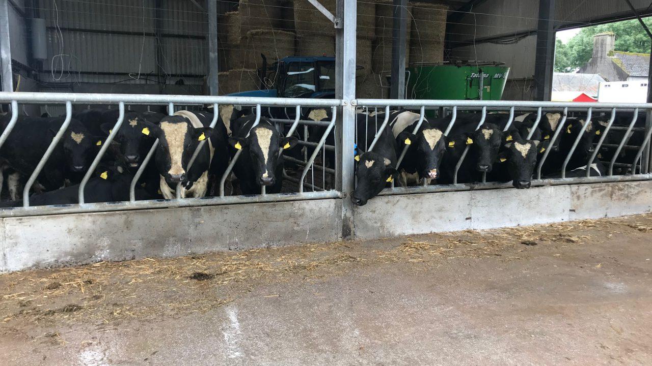 Friesian bulls wanted for export