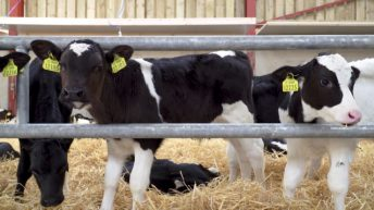 'Absolutely no foundation' to 'morbid rumours' about calf welfare