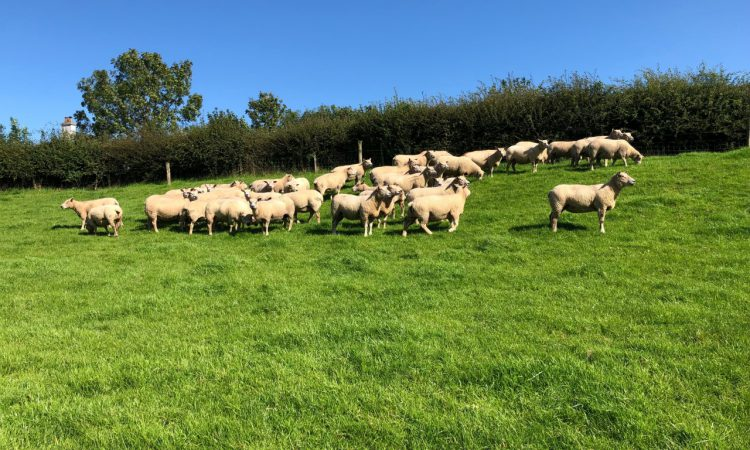 Back in focus: 'Constantly breeding new bloodlines to produce quality sheep'
