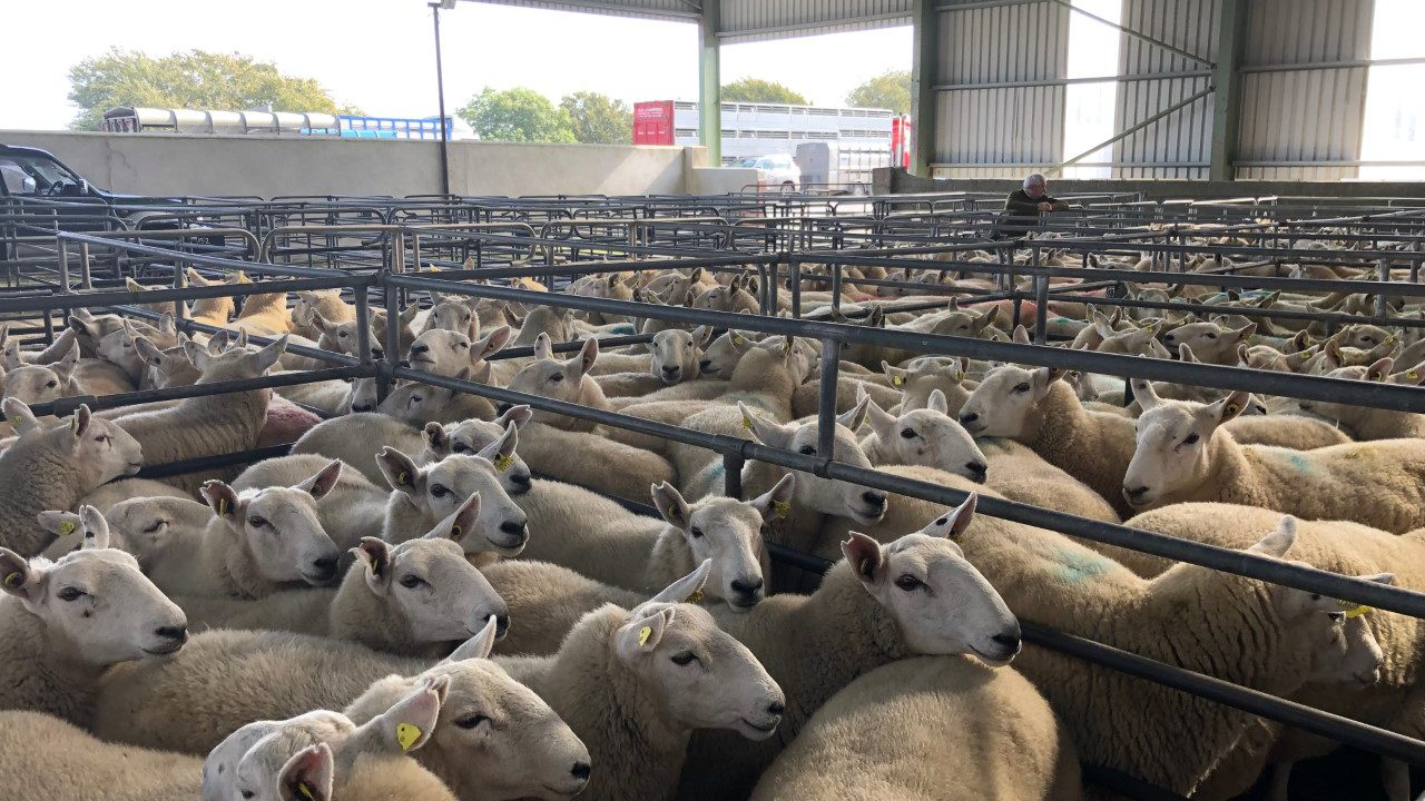 Sheep trade: Lamb prices hit €5/kg including QA, as base quotes increase again