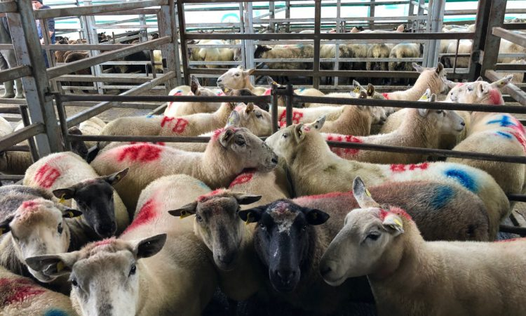 Sheep marts: 8 ram lambs sold for €180/head at Carnew Mart, as prices continue to rise
