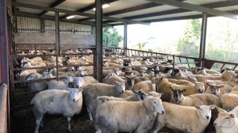 Sheep focus: Scanning 200 ewes in preparation for the lambing season in Co. Cavan