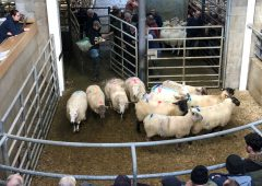 Sheep marts: Store lamb prices edge closer to the €100/head mark